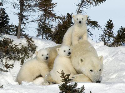 Polar Bear (Ursus Maritimus) Mother with Triplets, Wapusk National Park, Churchill, Manitoba Stretched Canvas Print
