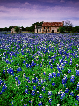 Field of Blubonnets, Marble Hill Area, Texas Stretched Canvas Print