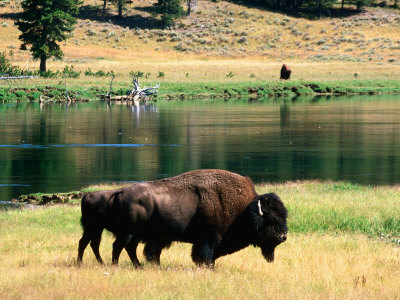 Pair of American Bison Beside Yellowstone River, Hayden Valley, Yellowstone National Park, Wyoming Stretched Canvas Print