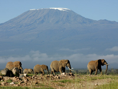 Elephants Backdropped by Mt. Kilimanjaro, Amboseli, Kenya Stretched Canvas Print