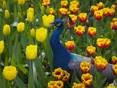 Peacock with Tulips, Keukenhof Gardens, Amsterdam, Netherlands Stretched Canvas Print