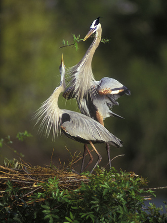 Great Blue Herons in Courtship Display at the Venice Rookery, South Venice, Florida, USA Stretched Canvas Print