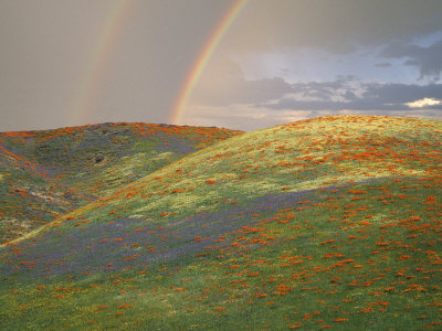 Hills with Poppies and Lupine with Double Rainbow Near Gorman, California, USA Stretched Canvas Print