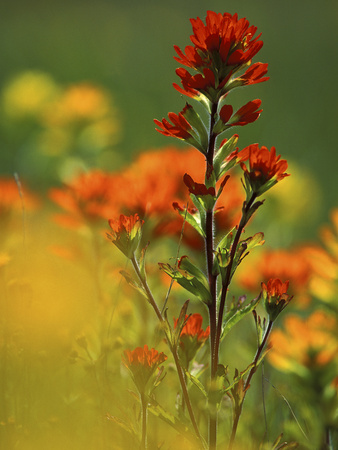 Red Indian Paintbrush Flower in Springtime, Nature Conservancy Property, Maxton Plains Stretched Canvas Print