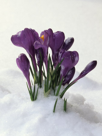 Crocus in the Snow Stretched Canvas Print