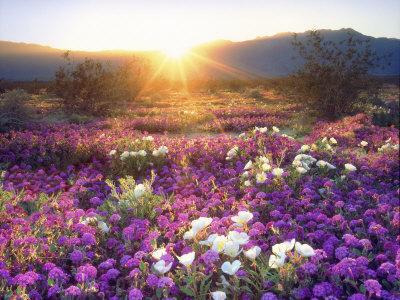 Sand Verbena and Dune Primrose Wildflowers at Sunset, Anza-Borrego Desert State Park, California Stretched Canvas Print