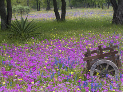 Wooden Cart in Field of Phlox, Blue Bonnets, and Oak Trees, Near Devine, Texas, USA Stretched Canvas Print