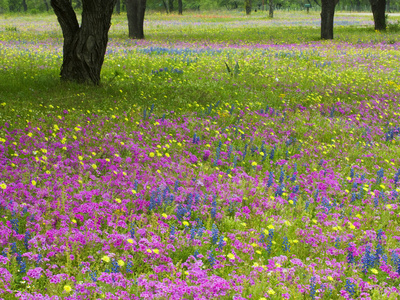Field of Texas Blue Bonnets, Phlox and Oak Trees, Devine, Texas, USA Stretched Canvas Print