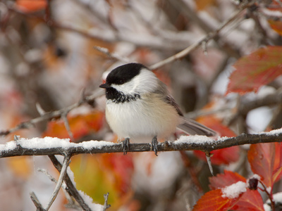 Adult Black-capped Chickadee in Snow, Grand Teton National Park, Wyoming, USA Stretched Canvas Print