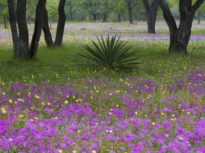 Agave in Field of Texas Blue Bonnets, Phlox and Oak Trees, Devine, Texas, USA Stretched Canvas Print