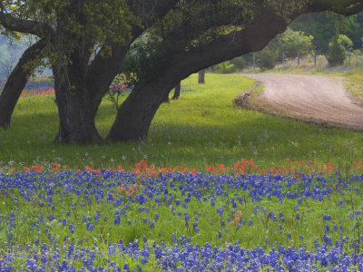 Oak Trees, Blue Bonnets, and Indian Paint Brush, Near Gay Hill, Texas, USA Stretched Canvas Print