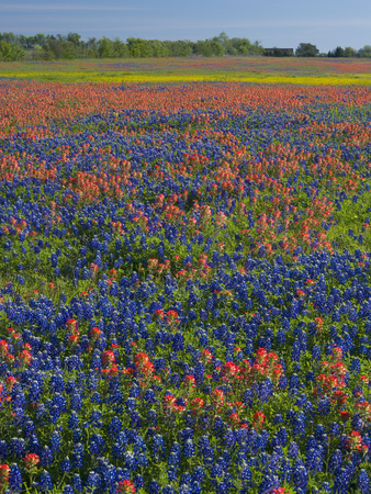 Field of Texas Blue Bonnets and Indian Paintbrush, Texas Hill Country, Texas, USA Stretched Canvas Print