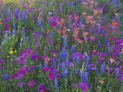 Phlox, Blue Bonnets and Indian Paintbrush Near Brenham, Texas, USA Stretched Canvas Print