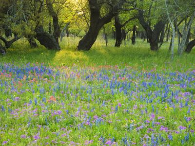 Dusk Through Oak Trees, Field of Texas Blue Bonnets and Phlox, Devine, Texas, USA Stretched Canvas Print
