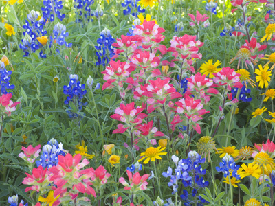 Blue Bonnets, Arnica, and Indian Paintbrush, Near Cuero, Texas, USA Stretched Canvas Print