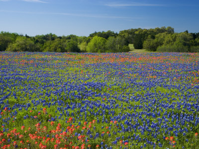 Blue Bonnets and Indian Paintbrush with Oak Trees in Distance, Near Independence, Texas, USA Stretched Canvas Print
