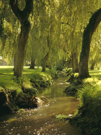 Willow Trees by Forest Stream, New Forest, Hampshire, England, UK, Europe Stretched Canvas Print