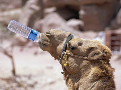 Camel Drinking, Jordan, Petra Stretched Canvas Print