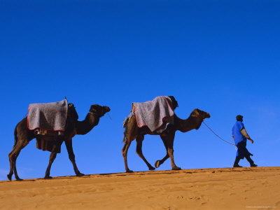 Camel Train Through Desert, Morocco, North Africa Stretched Canvas Print