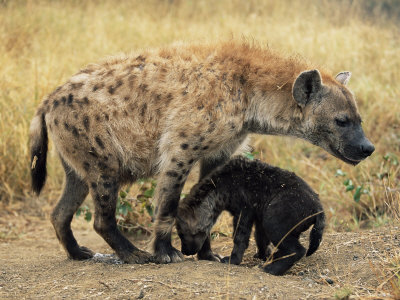 adult toon galleries. Spotted Hyena, Crocuta Crocuta, Cub Greeting Adult, .