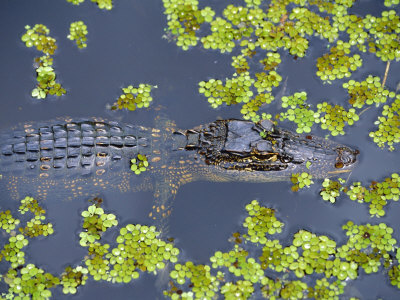 Juvenile Alligator in Swampland (Bayou) at Jean Lafitte National Historical Park and Preserve, USA Stretched Canvas Print
