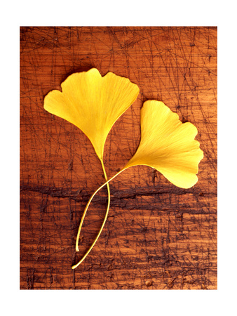 Yellow Ginkgo Leaves Stretched Canvas Print
