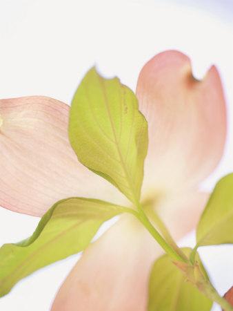 Pink Dogwood Flowers I Stretched Canvas Print