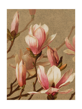 Pink Magnolia Stretched Canvas Print