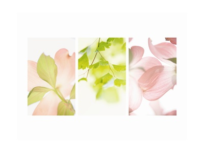 Pink Dogwood Flowers II Stretched Canvas Print