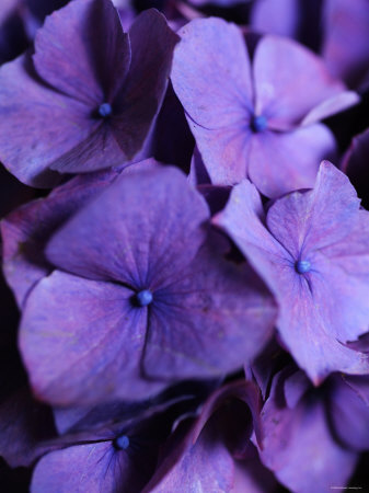 Purple Hydrangea Close-up Stretched Canvas Print