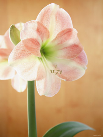 White and Pink Amaryllis Stretched Canvas Print