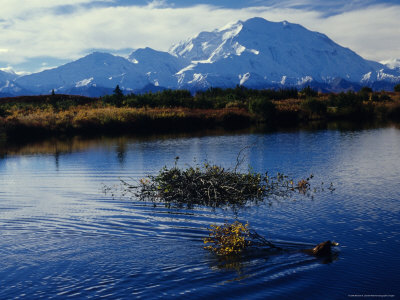 Beaver Hauls Willows to its Cache in the Shadow of Mount Mckinley, Alaska Stretched Canvas Print