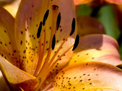 Close View of a Yellow Daylily in Bloom, Groton, Connecticut Stretched Canvas Print