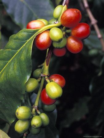 Coffe Bean Branches Grow on the South Kona Coast, Big Island, Hawaii Stretched Canvas Print
