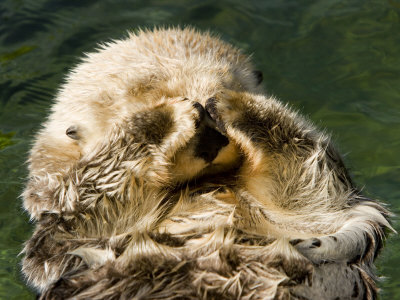 Closeup of a Captive Sea Otter Covering his Face Stretched Canvas Print