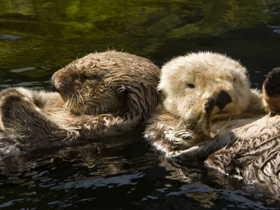Two Captive Sea Otters Floating Back to Back Stretched Canvas Print