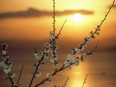 Plum Blossoms at Sunset, Ehime, Shikoku, Japan Stretched Canvas Print