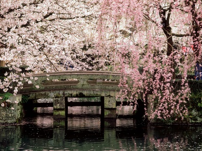 Cherry Blossoms, Mishima Taisha Shrine, Shizuoka Stretched Canvas Print