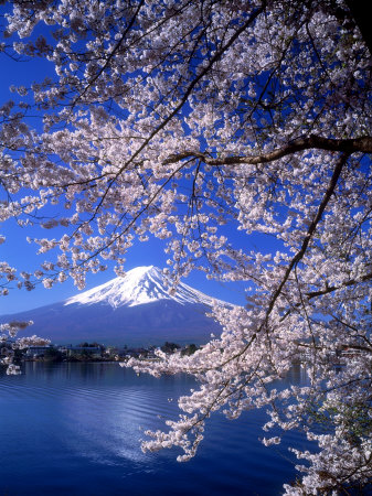 Cherry Blossoms and Mt. Fuji Stretched Canvas Print