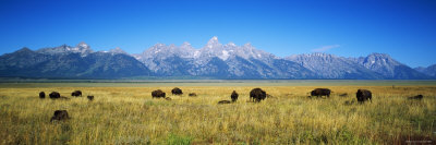 Field of Bison with Mountains in Background, Grand Teton National Park, Wyoming, USA Stretched Canvas Print