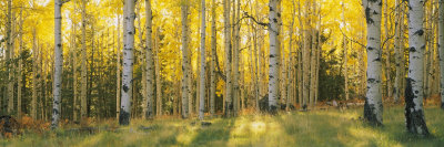 Aspen Trees in Coconino National Forest, Arizona, USA Stretched Canvas Print