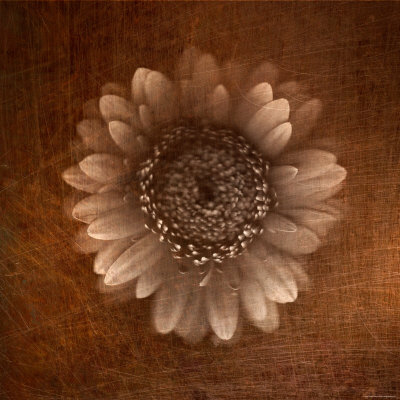 Sepia Gerbera Daisy Stretched Canvas Print