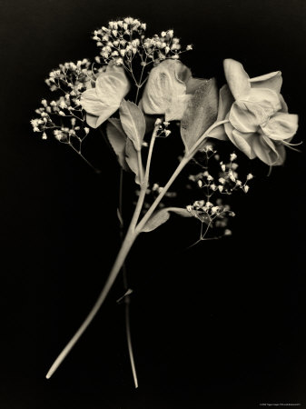 Wilted White Rose and Baby's Breath in Black and White Stretched Canvas Print