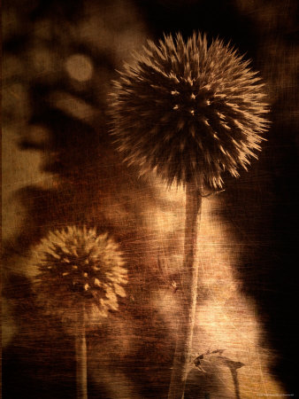 Sepia Dandelions Stretched Canvas Print