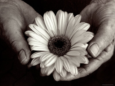 Daisy Cupped in Tired Hands Stretched Canvas Print