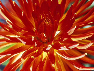 Dahlia Carnival Stretched Canvas Print