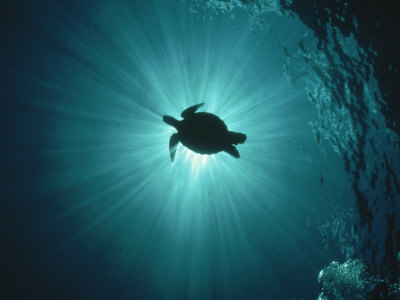 Silhouette of Underwater Sea Turtle from Beneath Stretched Canvas Print