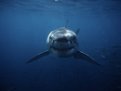 Great White Shark, Swimming, South Australia Stretched Canvas Print