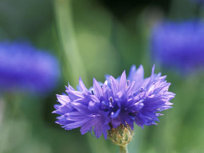 Centaurea Cyanus (Blue Cornflower), Close-up Stretched Canvas Print
