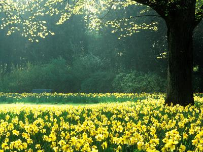 Spring Garden, Narcissus, Tree Bright Sunshine France Narcissi Paris Stretched Canvas Print